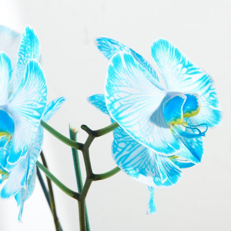 Illustration #3 Orchidée Bleue