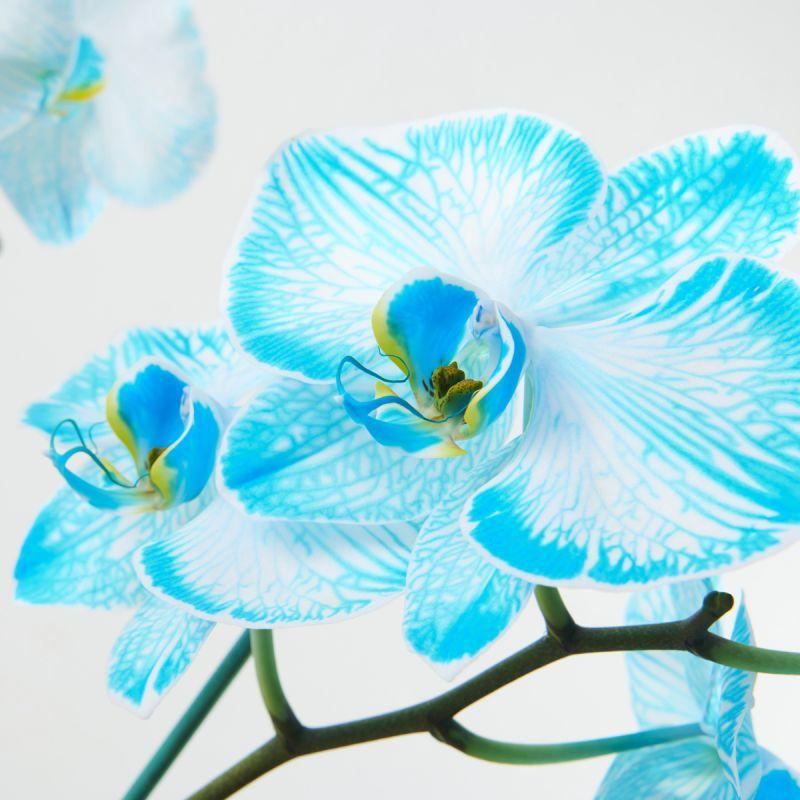 Illustration #2 Orchidée Bleue