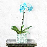 Illustration #1 Orchidée Bleue